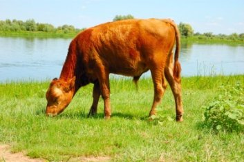 grass fed cows have more cla
